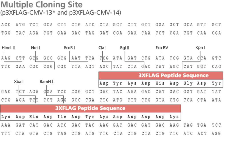 p3×FLAG-CMV-14-vector