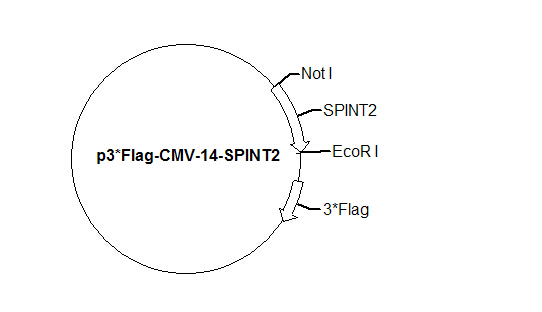 p3*Flag-CMV-14-SPINT2 Plasmid