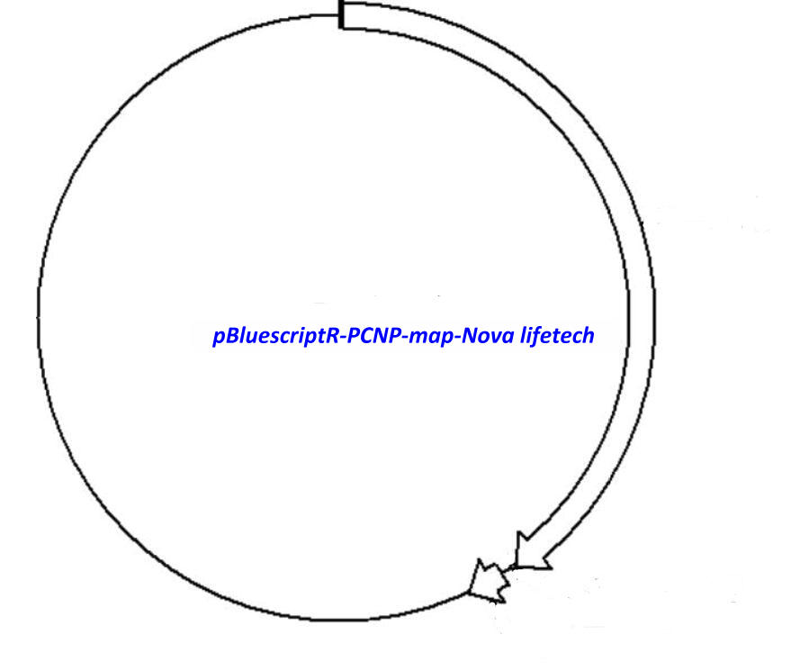 pBluescriptR-PCNP Plasmid
