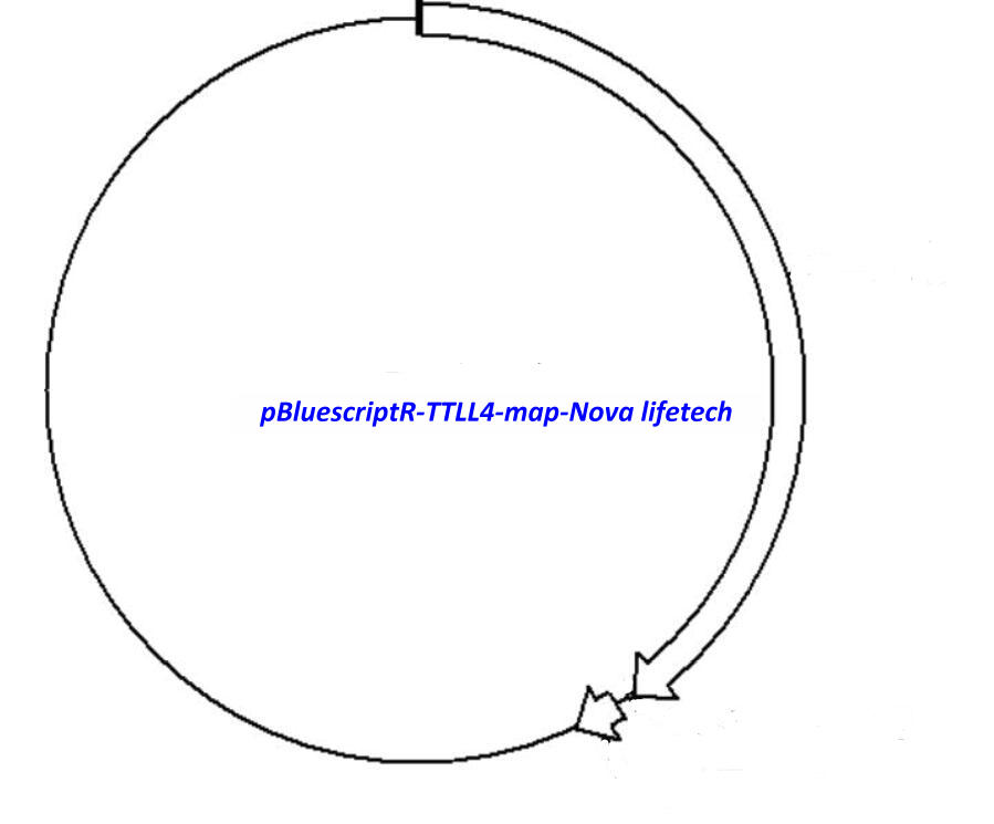 pBluescriptR-TTLL4 Plasmid