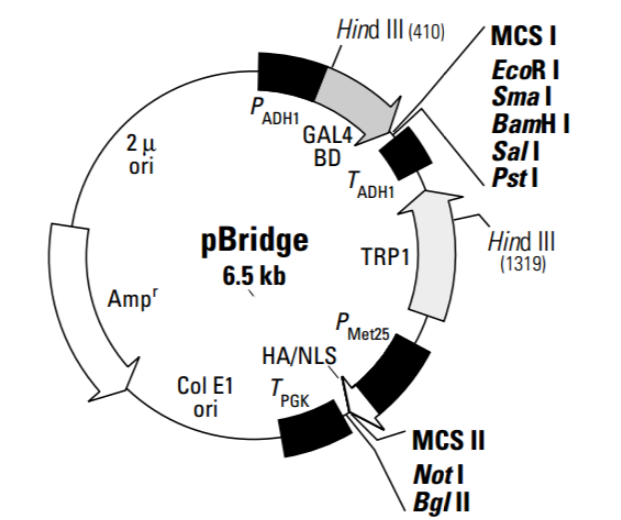 pBridge Plasmid