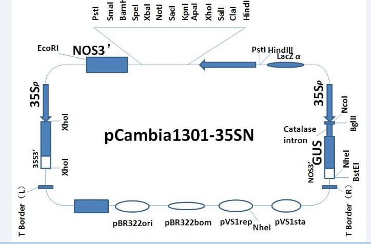 pCAMBIA1301- 35SN Plasmid