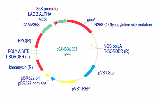 pCAMBIA1303 Plasmid