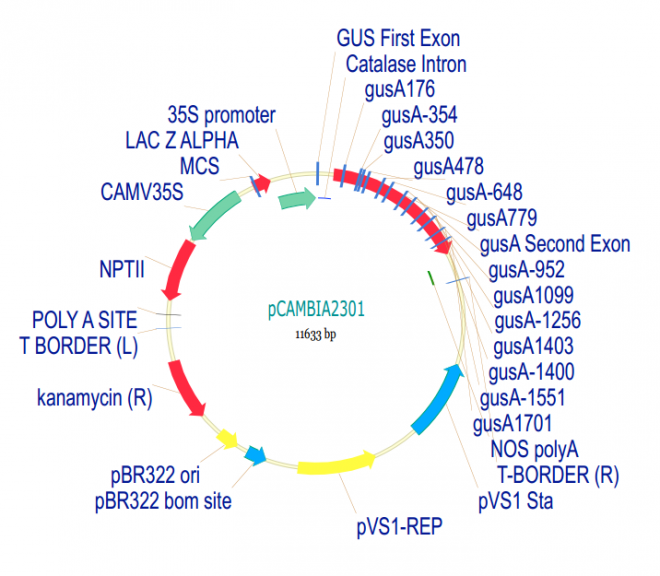 pCAMBIA2301 Plasmid