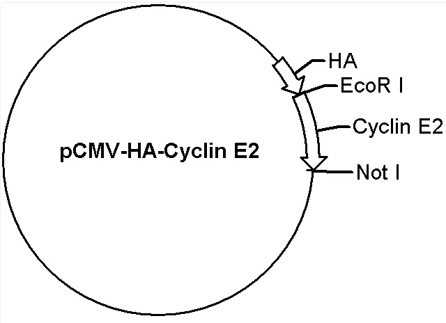 pCMV-HA-Cyclin E2 Plasmid