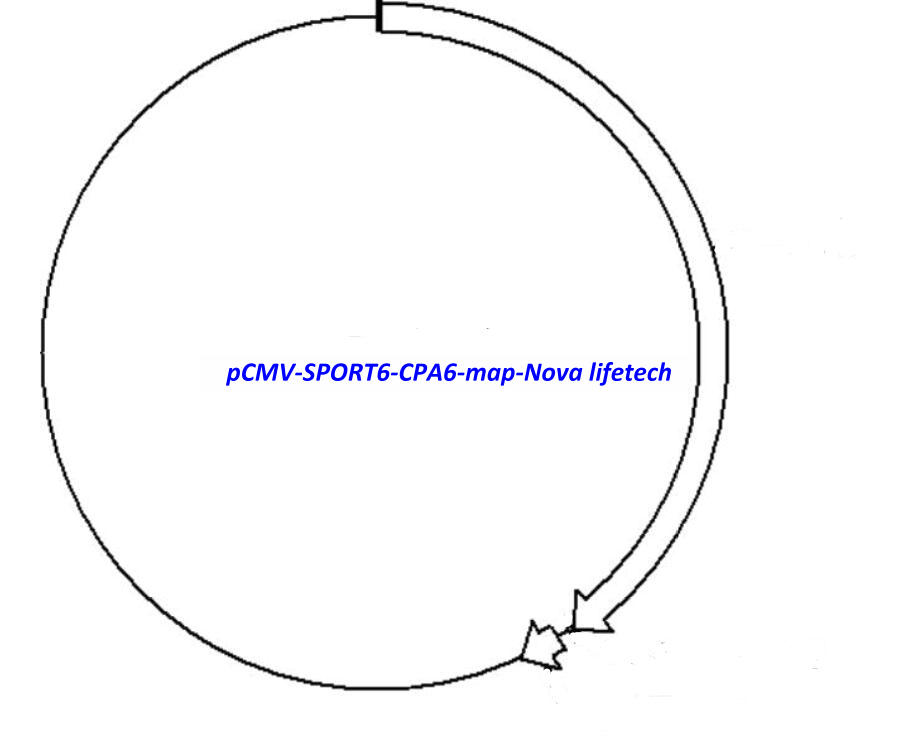 pCMV-SPORT6-CPA6 Plasmid - Click Image to Close