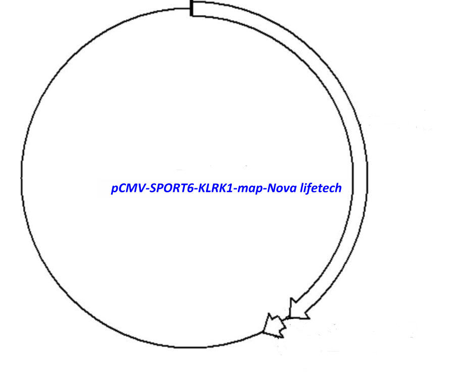 pCMV-SPORT6-KLRK1 Plasmid - Click Image to Close