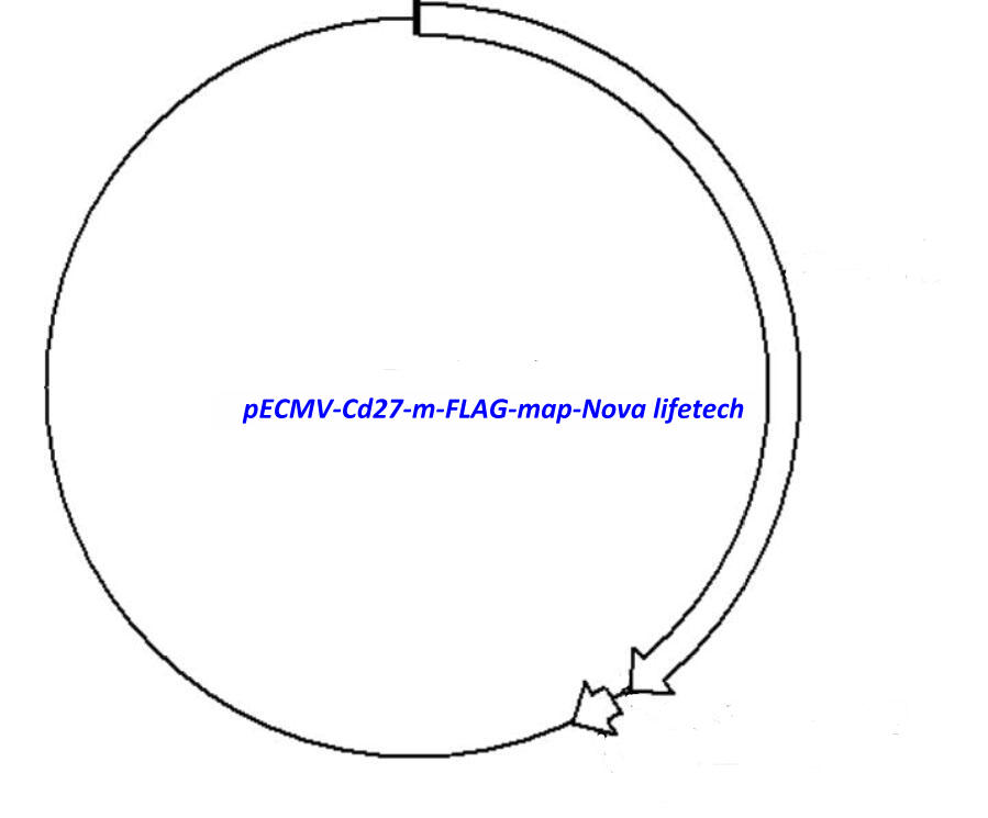 pECMV-Cd27-m-FLAG Plasmid