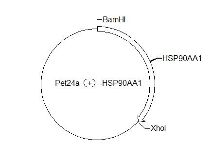 pET24a(+)-HSP90AA1 Plasmid