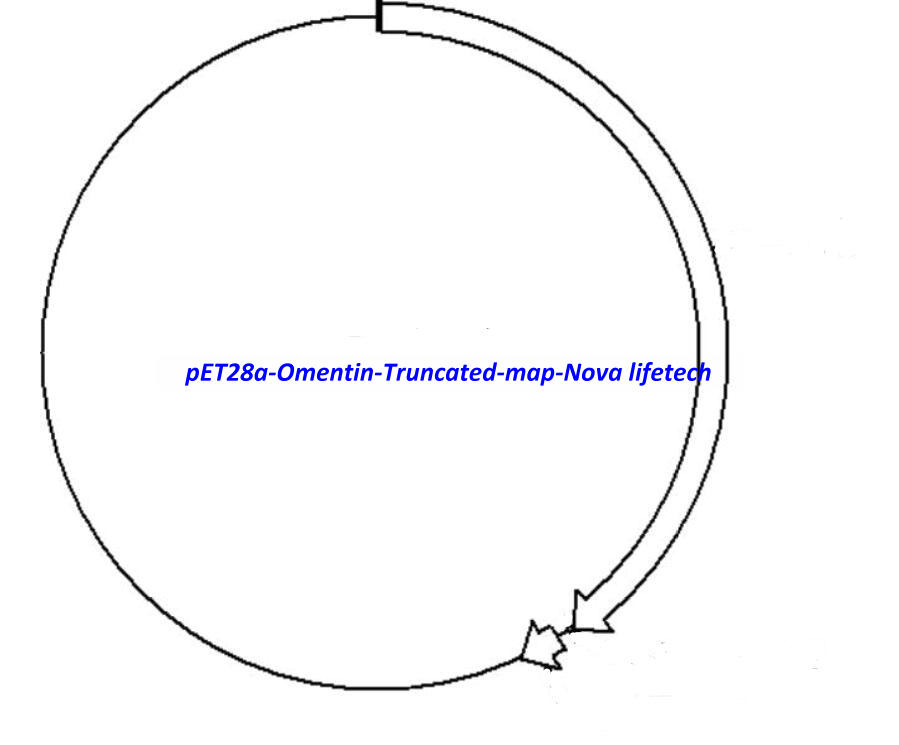 pET28a- Omentin (Truncated) Plasmid