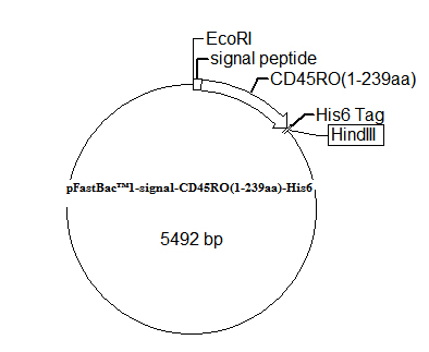 pFastBac 1-signal-CD45RO(1-239aa)-His6 Plasmid