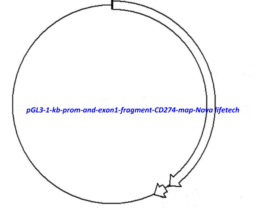 pGL3 1 kb prom and exon1 fragment CD274 Plasmid