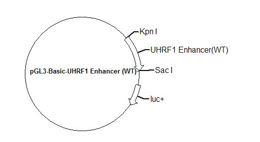 pGL3-Basic-UHRF1 Enhancer (WT) Plasmid
