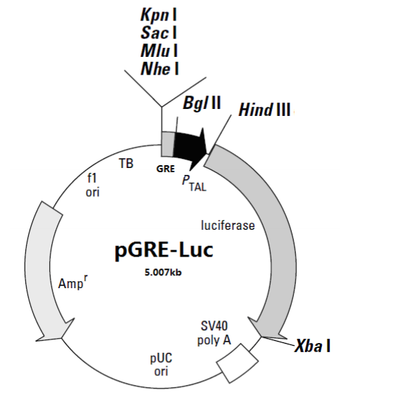 pGRE- luc