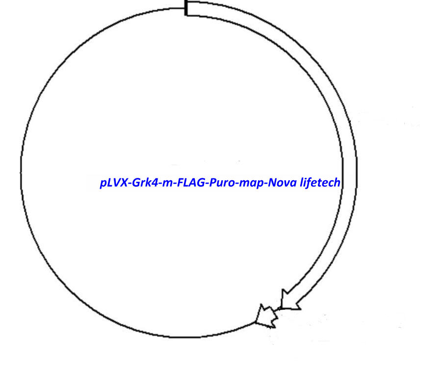 pLVX-Grk4-m-FLAG-Puro Plasmid - Click Image to Close