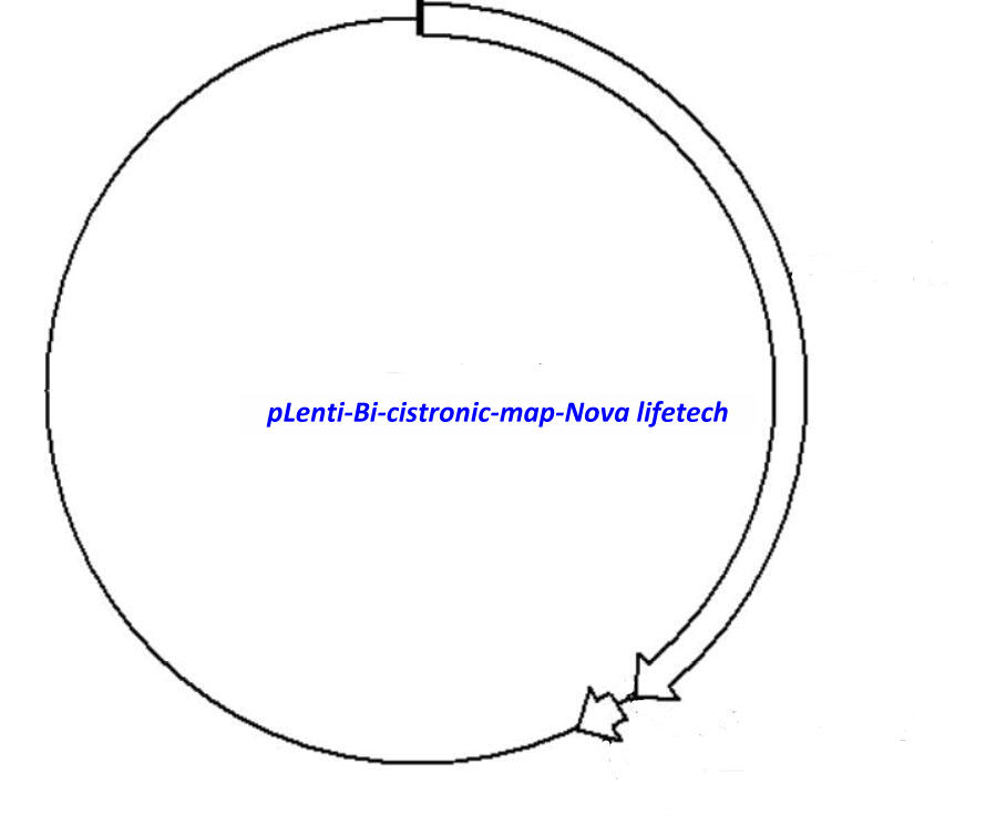 pLenti- Bi- cistronic Plasmid
