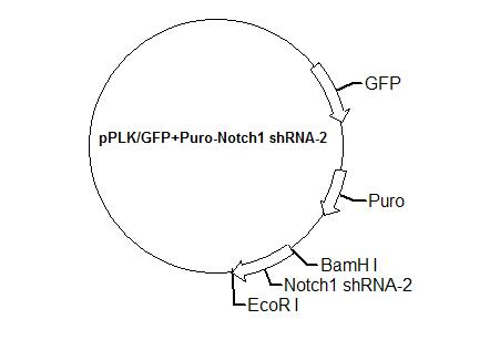 pPLK/GFP+Puro-Notch1 shRNA-2 Plasmid