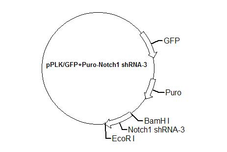pPLK/GFP+Puro-Notch1 shRNA-3 Plasmid