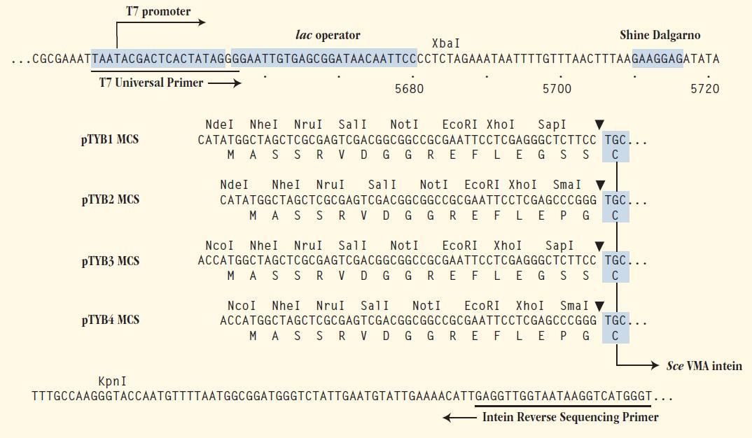 pTYB1-plasmid