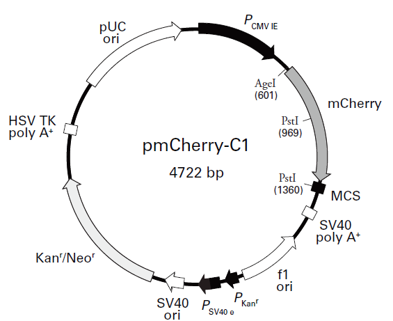 pmCherry- C1 Plasmid